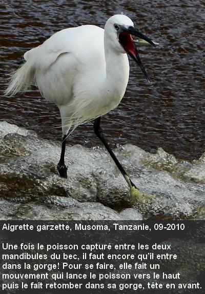 Egretta_garzetta15