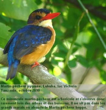 Ispidina_picta12