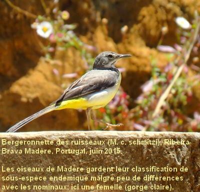 Motacilla_cinerea17