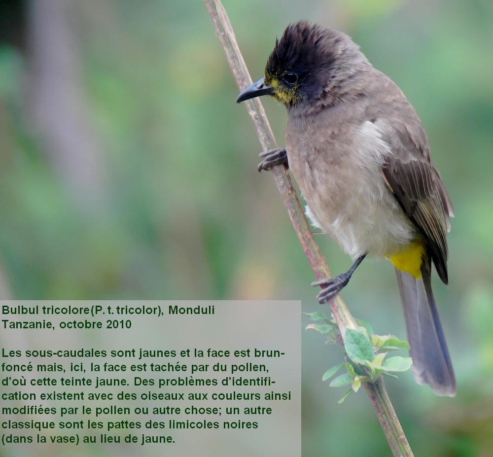 Pycnonotus_tricolor11