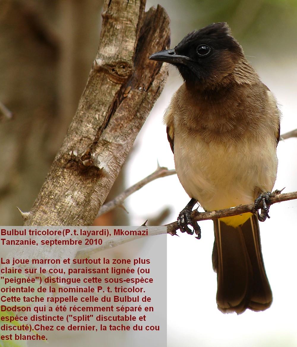 Pycnonotus_tricolor12
