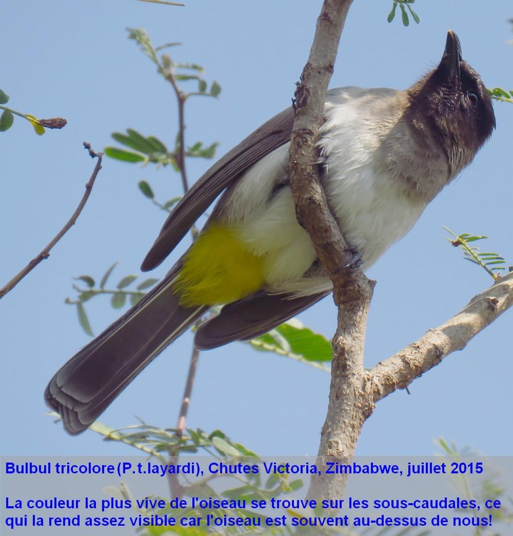 Pycnonotus_tricolor13