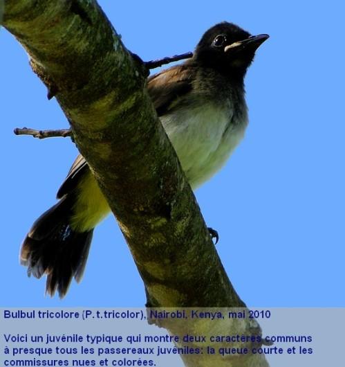 Pycnonotus_tricolor14