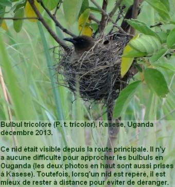 Pycnonotus_tricolor18