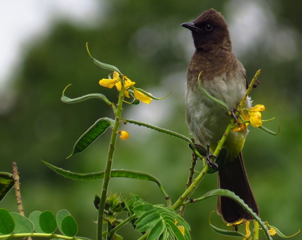 Pycnonotus_tricolorMAIN