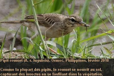 Anthus_rufulus_3fr