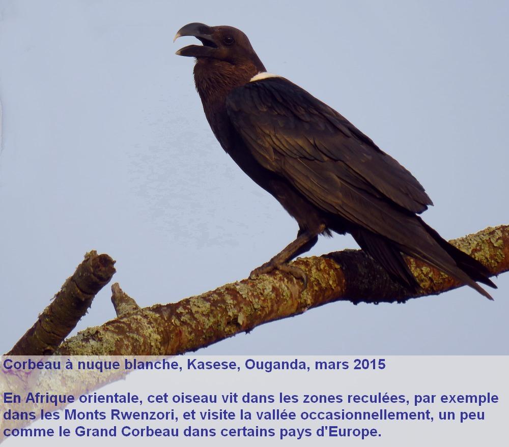 Corvus_albicollis_1fr