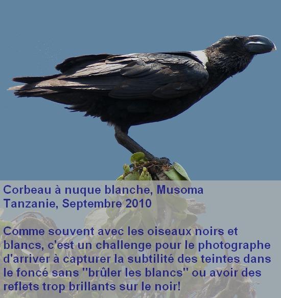 Corvus_albicollis_2fr.jpg