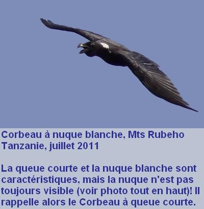 Corvus_albicollis_3fr.jpg