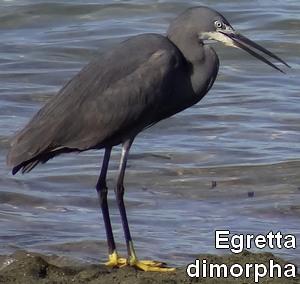 Egretta_dimorpha
