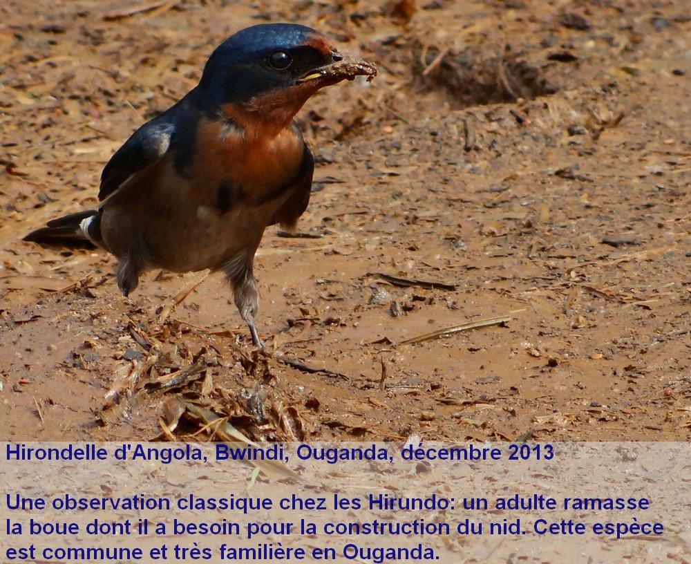 Hirundo_angolensis_1fr
