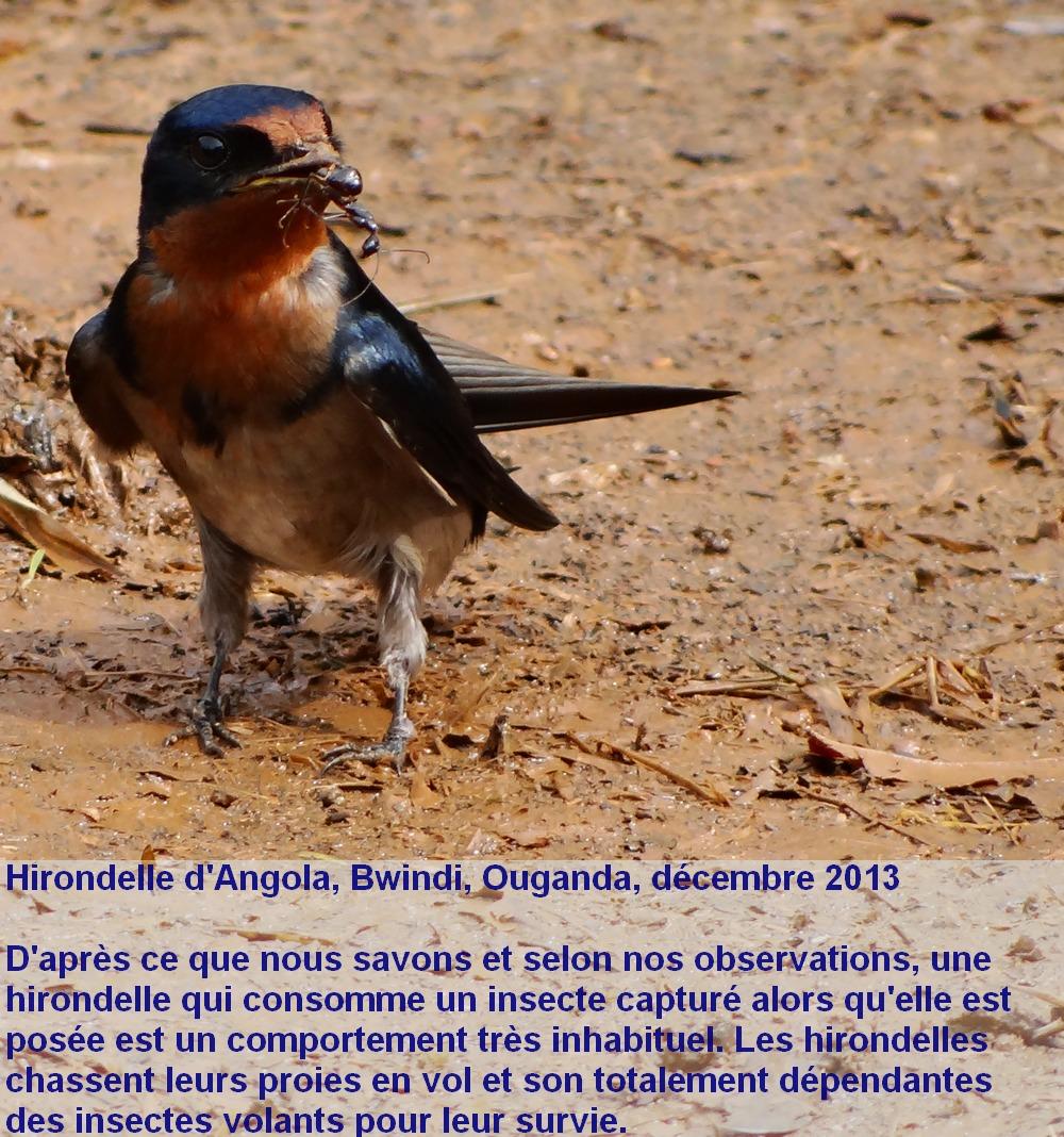 Hirundo_angolensis_2fr