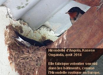 Hirundo_angolensis_3fr.jpg