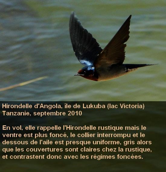 Hirundo_angolensis_4fr.jpg