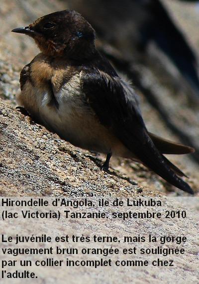 Hirundo_angolensis_6fr.jpg