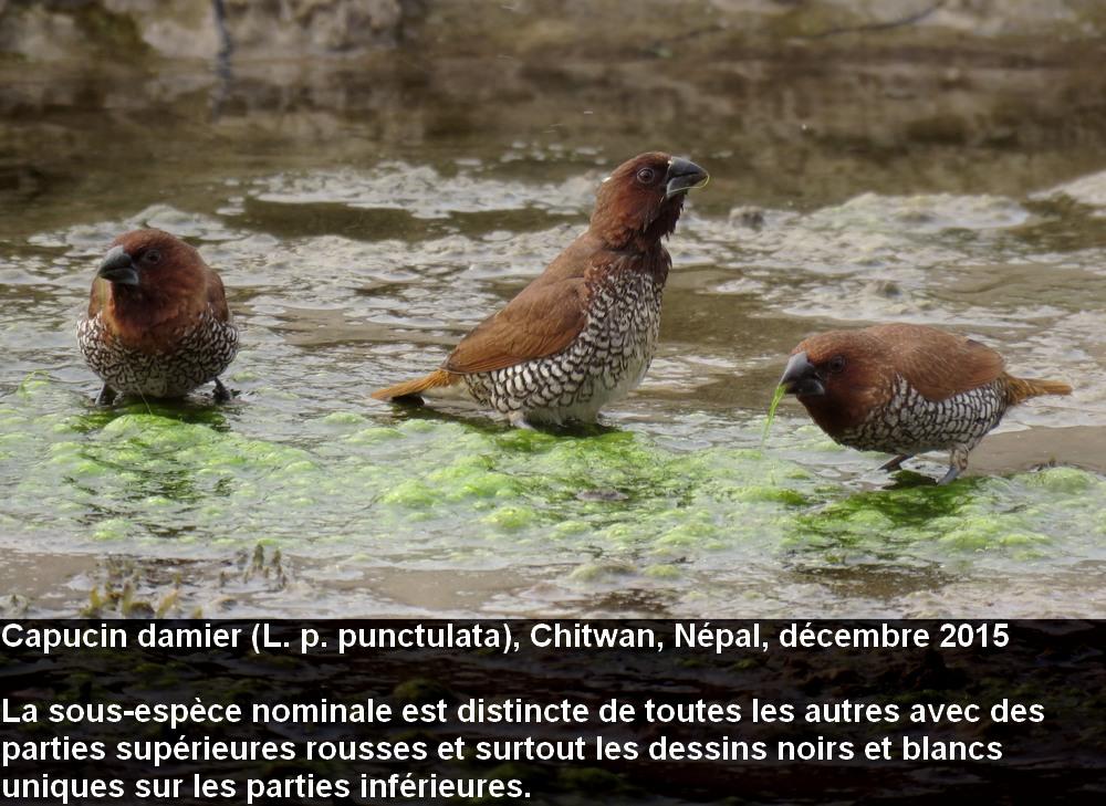 Lonchura_punctuluta_1fr