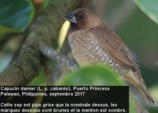 Lonchura_punctuluta_2fr