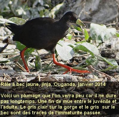 Amaurornis_flavirostra_1fr