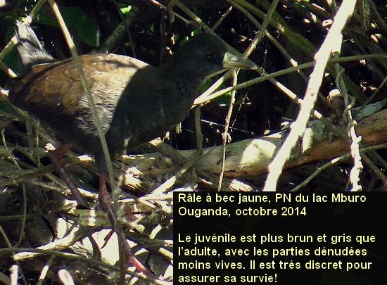 Amaurornis_flavirostra_2fr