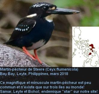 Ceyx_flumenicola1fr.jpg