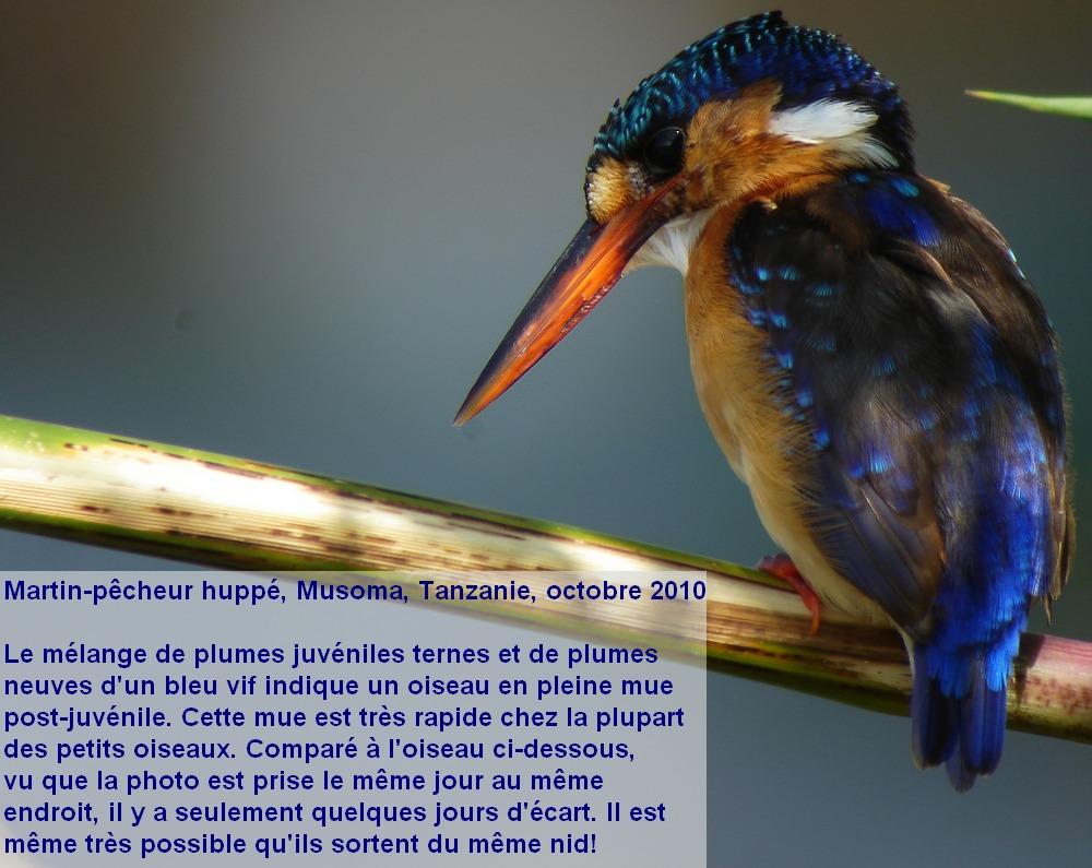Corythornis_cristatus_3fr