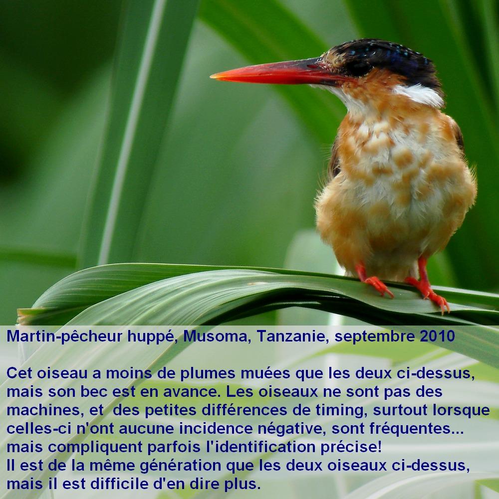 Corythornis_cristatus_5fr