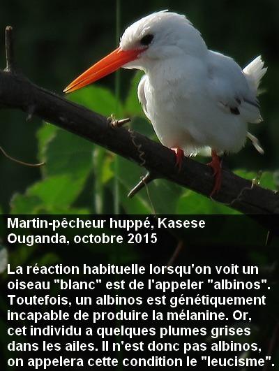 Corythornis_cristatus_7fr