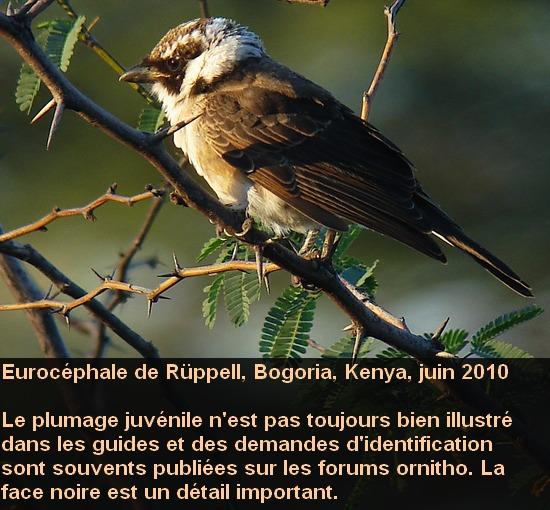 Eurocephalus_rueppellii_1fr.jpg