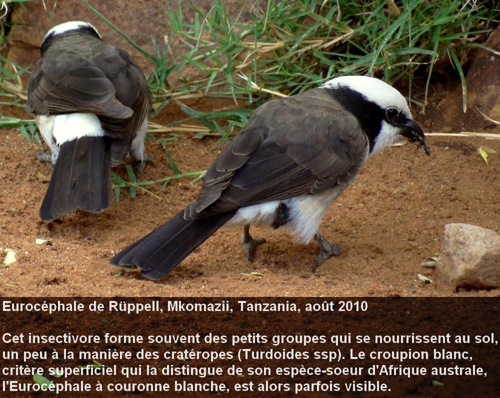 Eurocephalus_rueppellii_2fr.jpg