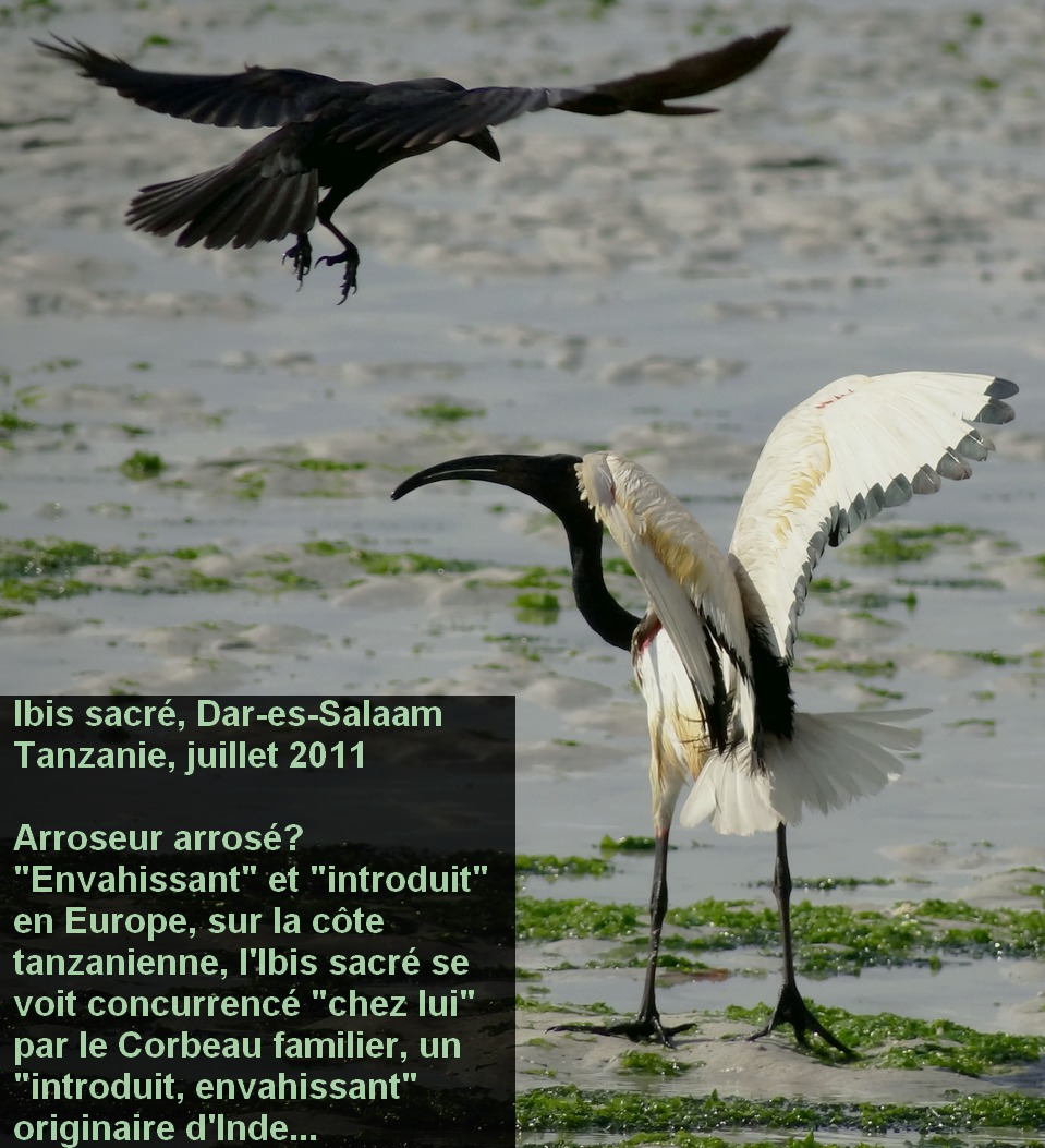 Threskiornis_aethiopicus_1fr.jpg