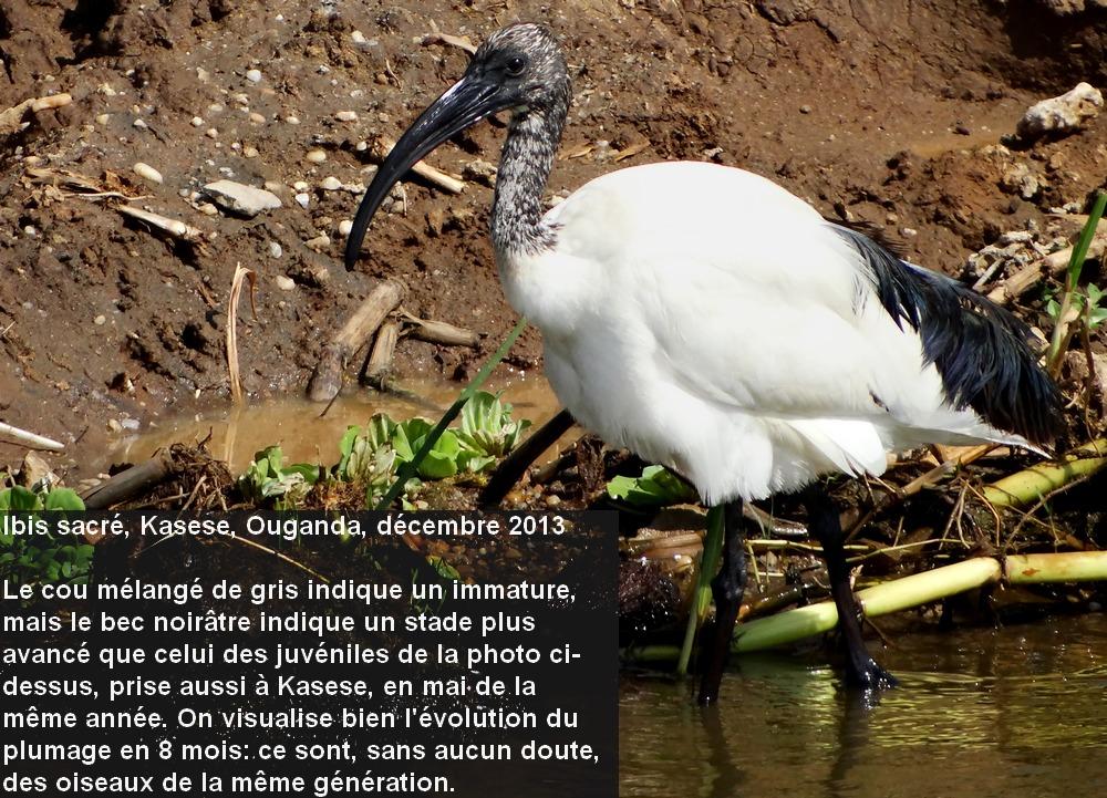 Threskiornis_aethiopicus_3fr