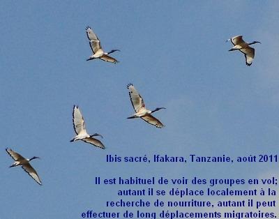 Threskiornis_aethiopicus_4fr