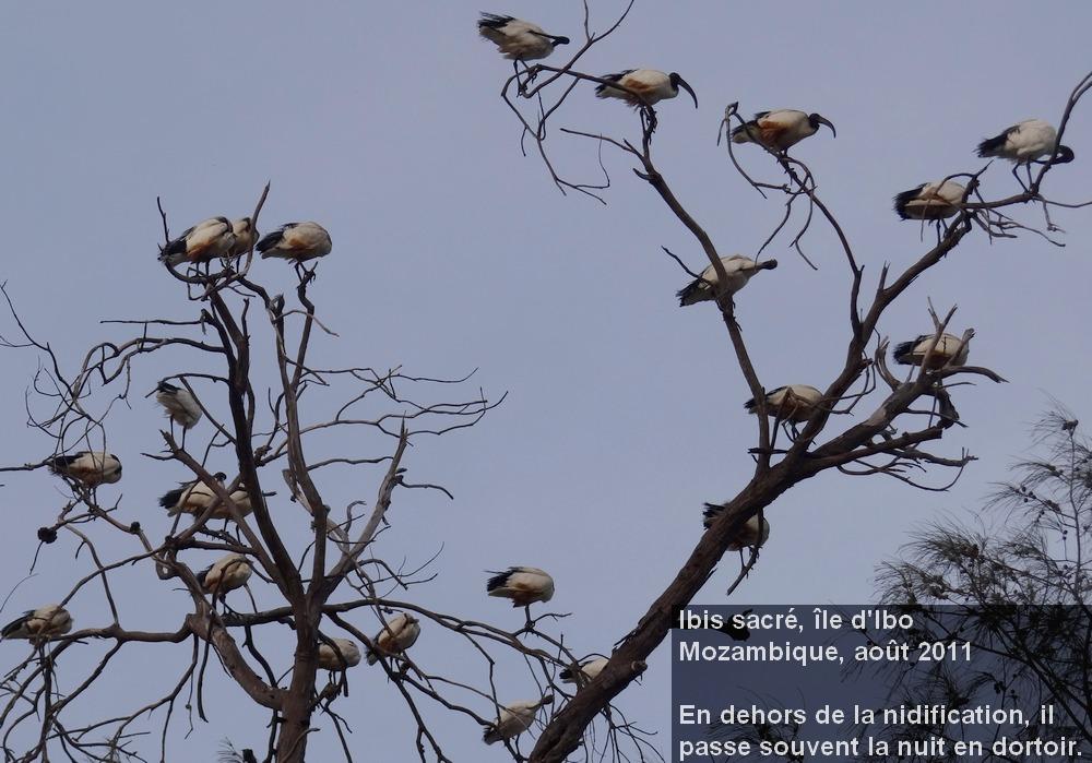 Threskiornis_aethiopicus_5fr