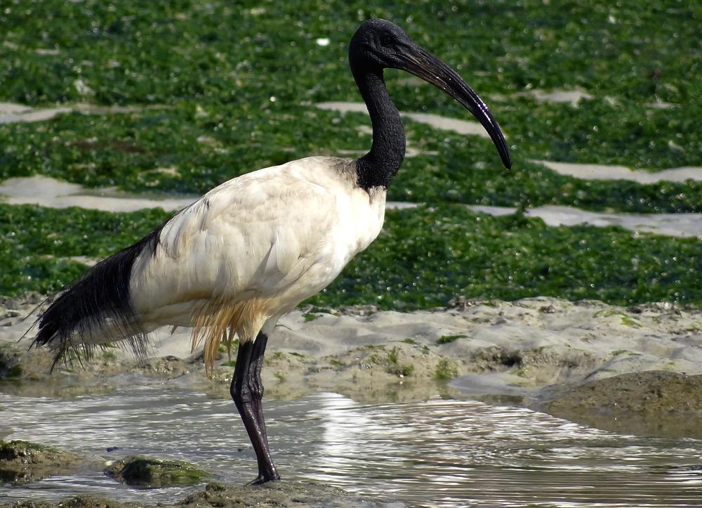 Threskiornis_aethiopicus_main