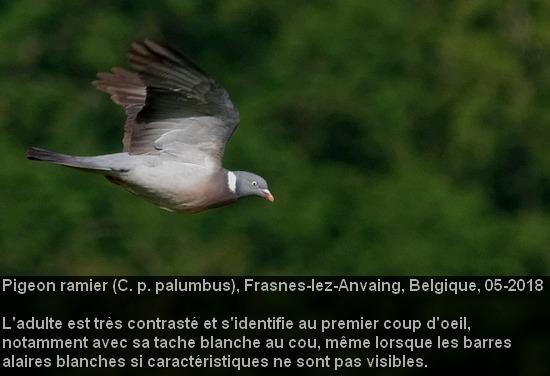Columba_palumbus_2fr