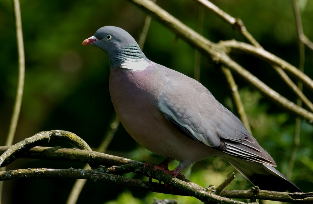 Columba_palumbus_main