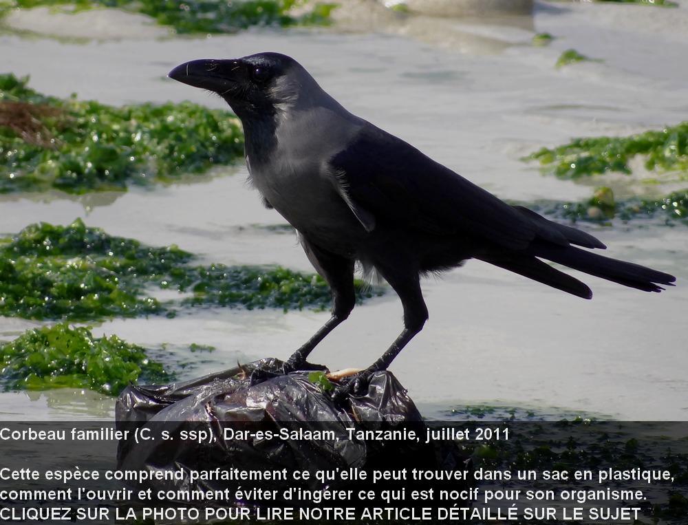Corvus_splendens_3fr.jpg
