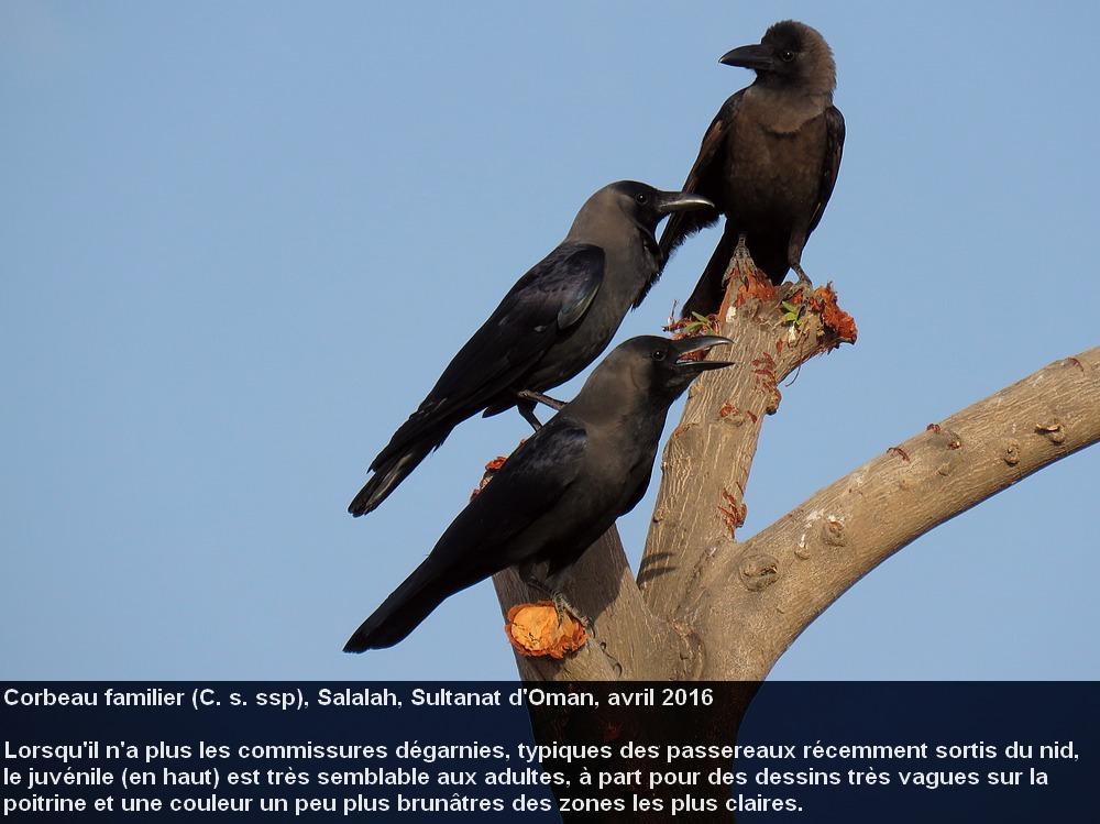 Corvus_splendens_9fr