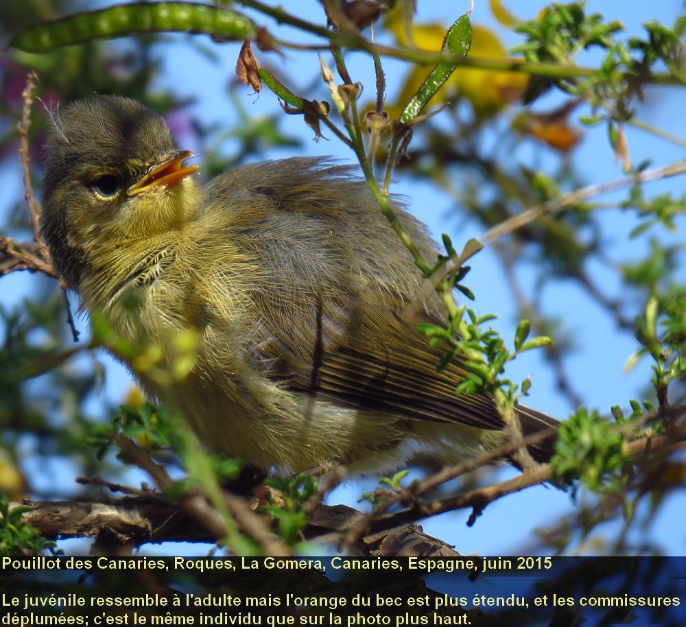 Phylloscopus_canariensis_1fr.jpg