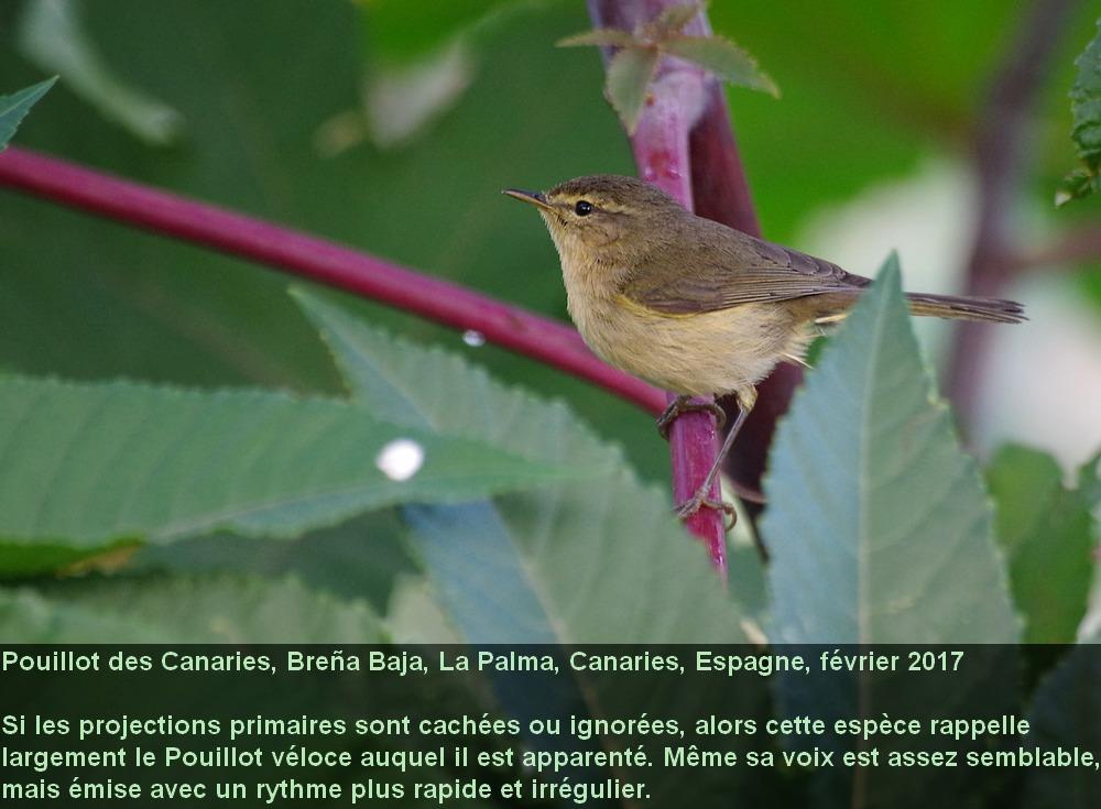 Phylloscopus_canariensis_3fr