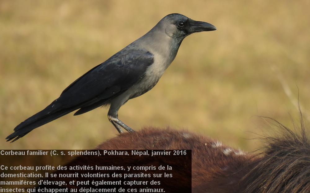 Corvus_splendens_1fr.jpg