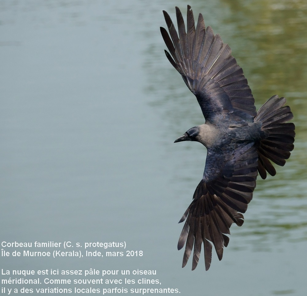 Corvus_splendens_7fr
