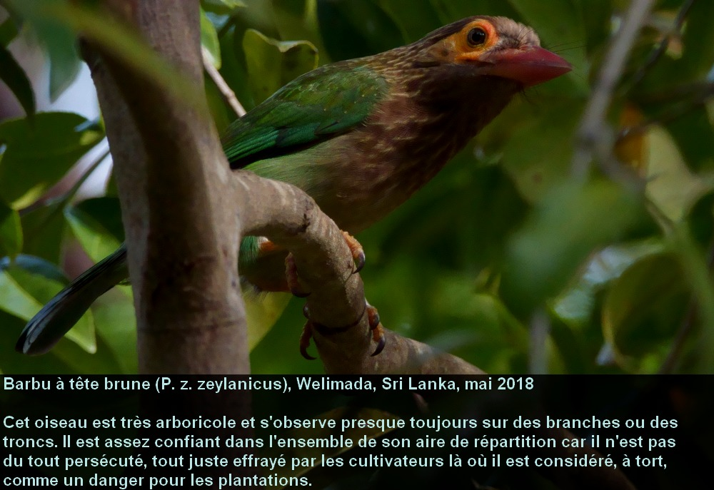 Psilopogon_zeylanicus_4fr.jpg