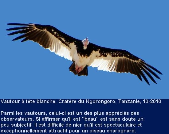 Trigonoceps_occipitalis_4fr