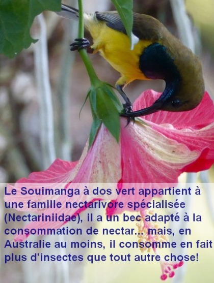 Cinnyris_jugularis_nectar