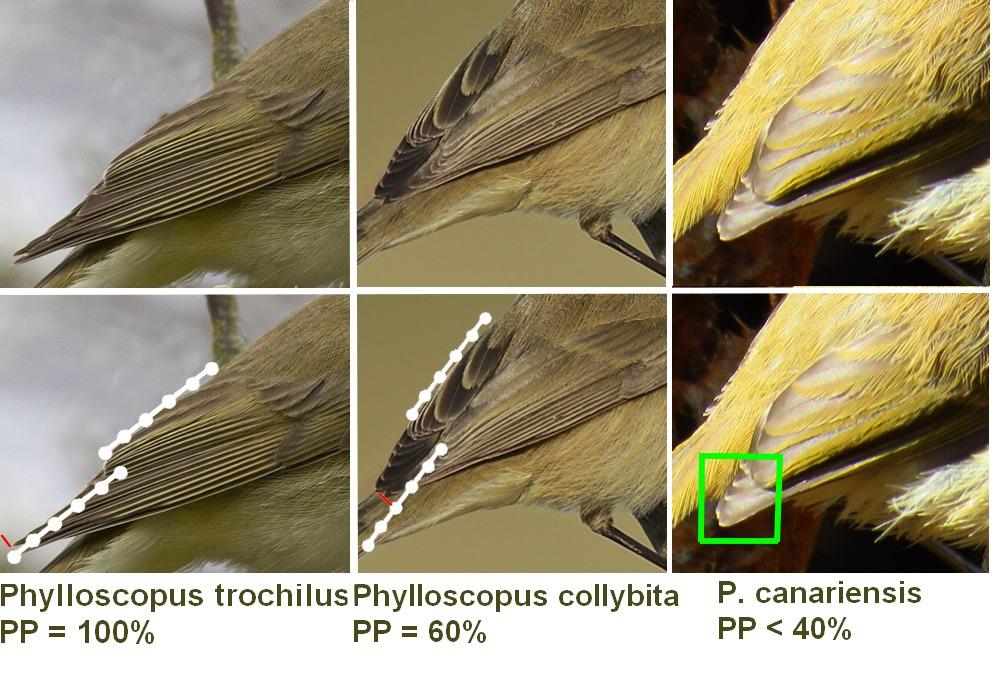 phylloscopus_pp1.jpg