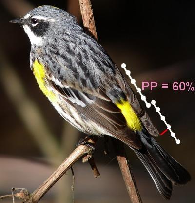 Setophaga_coronata_pp1