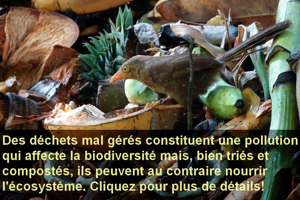 Turdoides_rufescens_compost.jpg