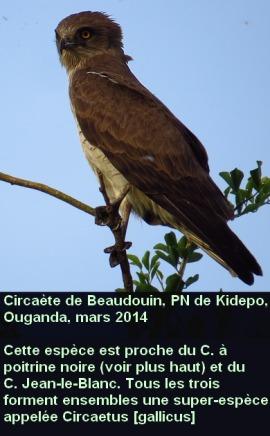Circaetus_beaudouini_nom1fr