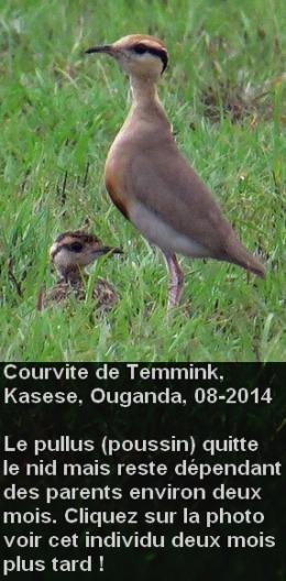 Cursorius_temminckii_age1fr